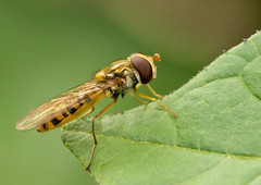 Hoverfly - Episyrphus balteatus (Graham Dash) Tags: insects surrey flies cobham hoverfly hoverflies painshillpark painshill episyrphusbalteatus