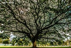 grande arvore (Marcielle) Tags: sjc saojosedoscampos rogeriosantos marciellemonize fotosantos grandearvore grandearvoresjc parquedacidadesaojosedoscampos