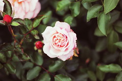 Your Eyes (Therese Trinko) Tags: madrid park pink parque red españa green nature rose garden circle petals spain europe rosa fold retiro centerfocus buenretiro
