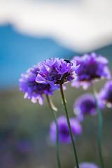Violettes (Macsous) Tags: photo france queyras japonais flowers flower jardin herbe alpes hautes solaize image fleur vallée montagne rhone gazon tige violet fleurs vert verdoyant jaune herbes mauvaise