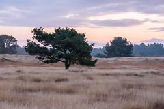 Heide im November (webpinsel) Tags: halternamsee herbst landschaft morgenstimmung natur naturschutzgebiet sythen westruperheide