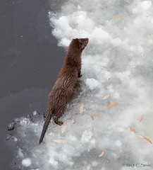 American Mink (cheryl strahl) Tags: snow ice alaska river otter brooksrange daltonhighway yukonriver riverotter droh haulroad dailyrayofhope
