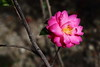 192A0667VFQ (HL's Photo) Tags: flowers plant flower macro snapshot taiwan bloom taipei redflower sys blooming macroflower nbh