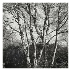 Birch (gerainte1) Tags: trees film yorkshire birch brimham mamiyarz67proii monoblackandwhite
