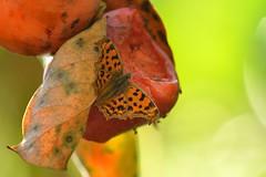 (myu-myu) Tags: autumn nature japan fruit butterfly nikon mygarden  d800  diospyroskaki polygoniacaureum kakipersimmon   afsnikkor300mmf4epfedvr