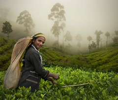 The Tea Picker, Lipton's Seat, Sri Lanka (marksedgwick55) Tags: travel trees portrait mist green smile work persona highlands asia tea exploring rich plantation srilanka lush tamil teapicking dambutalle