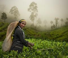 The Tea Picker, Lipton's Seat, Sri Lanka (marksedgwick55) Tags: travel trees portrait mist green smile work persona highlands asia tea exploring rich plantation srilanka lush tamil teapicking dambutalle