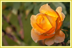 Rose (Guy_D_2010) Tags: flower rose yellow nikon bokeh flor blumen blomma quintaflower bunga  fiore blomst gul virg hoa bloem lill blm iek  kwiat blodyn   lule kukka d90   cvijet  blth cvet  zieds  gl kvtina kvetina floare vaural  languageofflowers   fjura   nikoniste pixelistes nikonfrance flowersarefabulous nikonflickraward  voninkazo