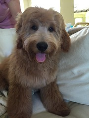 archie-after-his-first-hair-cut--he-is-brandie-and-chewys-little-boy_17787729438_o