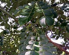 Albizia-saman_KapahuluPaki-Honolulu_Cutler_20151214_160929 (wlcutler) Tags: hawaii waikiki honolulu fabaceae albizia pulvinus albiziasaman