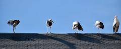 Cinq cigognes sur un toit (Mystycat =^..^=) Tags: cigogne cigogneblanche luzsaintsauveur oiseau bird france hautespyrnes midipyrnes toit ardoise ciconiaciconia stork
