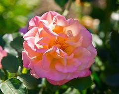 Spotlight (schreibtnix) Tags: deutschland germany bergischgladbach natur nature pflanzen plants blumen flowers blte blossom rot red rose sonnenlicht sunlight nahaufnahme closeup olympuse5 schreibtnix