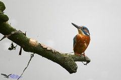 Kingfisher.(Adult Male). (spw6156 - Over 6,560,030 Views) Tags: kingfisheradult male iso 640500 th sec hard backlight from water copyright steve waterhouse summerwatch