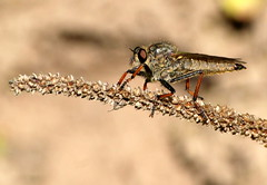 Pamponerus germanicus (Ramun Vakar) Tags: pamponerusgermanicus nature lithuania eiiai ramunvakar mimicry