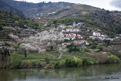 Douro river and the almond trees (JOAO DE BARROS) Tags: almondtree douro river portugal joo barros landscape
