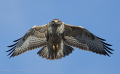 Common Buzzard (Steven Mcgrath (Glesgastef)) Tags: common buzzard pale phase flight fly stare raptor hawk scotland glasgow bird prey uk europe