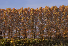 Autumn poplars and vines (jonathan charles photo) Tags: autumn fall trees poplars vines colour landscape gourvillette france art photo jonathan charles topf50