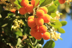 ¡Buenos dias!  EXPLORE November 1st, 2016 (Micheo) Tags: madroños carmendelosmártires colores colours strawberrytree árbol granada spain explore ok best