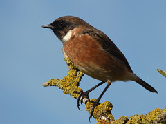 Stonechat (male) (Peanut1371) Tags: stonechat chat bird brown sky branch nationalgeographicwildlife
