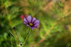 Cosmology (tonybill) Tags: autumn fall gardens miscellaneous october rhs rhswisley sonya7ii sonyfe90mmf28macrogoss sunshine surrey wisley bokeh