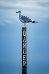 Danger Bird (ranzino) Tags: jerseyshore newjersey stoneharbor vacaction animal beach bird danger jetty nj ocean seagull unitedstates us