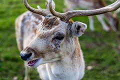 _IMG6069 (leroypierrick) Tags: animaux creuse daim evauxlesbains france limousin suede