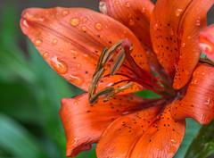 Lily's,Macro parts. (Omygodtom) Tags: macro macromonday raindrop waterdrops bright orange outdoors flower flickr tamron90mm mist spot existinglight exotic explorer tags natural nature nikon yahoo d7100 bokeh