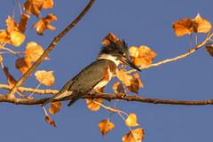 Fall - Belted King Fisher[Explored] (BernieErnieJr) Tags: fall fallfoliage cottonwood sony70400mmg2 sonya77mkii frontrange greatphotographers teamsony rockymountains beltedkingfisher bird colorado coloradowildlife wildlife