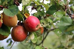 Boskoop (siebensprung) Tags: obstparadiesbambergerland boskoop apfel pfel streuobst fruit apple orchard streuobstwiese harvest ernte autumn herbst