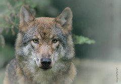 Protect (Sakerfalke) Tags: sakerfalkefotografie wolf protect outdoor