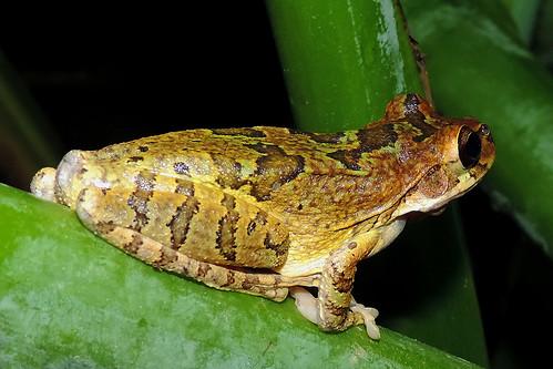 San Ignacio - Focussing Tree Frog