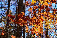 The Color Continues.... (tripod_treker) Tags: oaktree oak redoak fallfoliage autumn forest