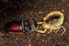 Escorpión común, amarillo o alacrán atacando (_Guille_) Tags: roja rhinoceros beetle scorpion escorpión alacrán escarabajo rinoceronte ataque atacando attack attacking attacked