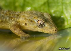 Salamanquesa...(tarentola mauritanica) (mianpascual) Tags: salamanquesa tarentola mauritanica reptil