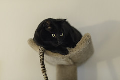 Carl on his Perch (lennycarl08) Tags: carl lc lennyandcarl cat cats blackcats blackcat canon5dmarkiv 5d4