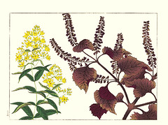 Yellow loosestrife and perilla (Japanese Flower and Bird Art) Tags: flower yellow loosestrife lysimachia vulgaris primulaceae perilla frutescens lamiaceae hoitsu sakai kiitsu suzuki kimei nakano nihonga woodblock picture book japan japanese art readercollection