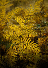 Golden Fern (JodBart) Tags: kingsmoss billinge nature fields autumn