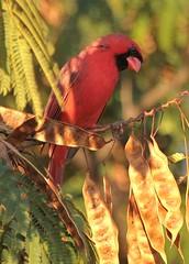 The Mr. (hennessy.barb) Tags: cardinal northerncardinal red bird perched cardinaliscardinalis
