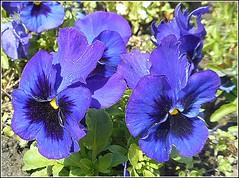Blue Pansies.. (** Janets Photos **) Tags: uk flowers flora pansies blue plants
