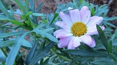 6273 Osteospermum getting a second showing (Andy - Busyyyyyyyyy) Tags: 20161128 daisy fff flower michaelmasdaisy mmm sss symphyotrichum violet hues vvv