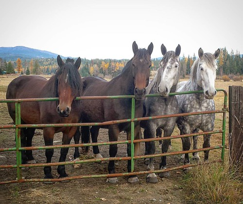 Reunited and it feels so good! 🎶 The mare on the far left is Julie. The mare second from the right is Lady. These two each had foals this year. They were away from their team mate for 8 months having and raising their foals. The babies were weaned l
