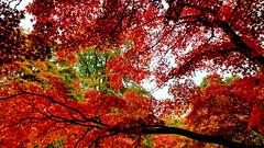 Fiery Autumn - Bodnant Garden [Explored 25-10-16] (Bon Espoir Photography) Tags: autumn mapletrees acers red fiery branches bodnantgarden nationaltrust northwales garden leaves motog4