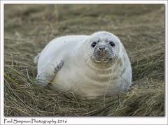 Baby Grey Seal (Paul Simpson Photography) Tags: seal paulsimpsonphotography nature lincolnshire sonya77 november2016 autumn greyseal babyseal naturalworld grass donnanook naturereserve imagsof imageof photosof photoof animal