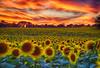 Sunflower Vision (Kansas Poetry (Patrick)) Tags: sunflowers sunset vivid kansas patrickemerson color