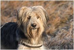 Bruc (HP019944) (Hetwie) Tags: ijs rijp zonsopkomst bruc strabrechtseheide natuur hond kou strabrecht heather ochtend dog heide ice nature sunrise lierop noordbrabant nederland