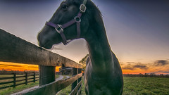 Horsing Around_3724 (refmo) Tags: horse sunset field bluegrass