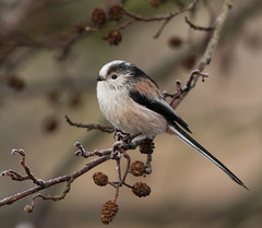 Long Tailed Tit (Gary McHale) Tags: long tailed tit high batts nature reserve