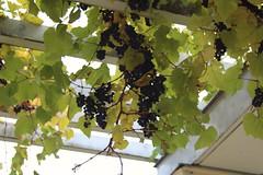 Weintrauben an der Pergola am Schloß Charlottenhof (r.seyffer) Tags: potsdam parksanssouci parkcharlottenhof schloscharlottenhof pergola weintrauben herbst
