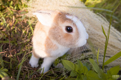 IMG_1701.jpg (ina070) Tags: animals canon6d cute grass outdoor outside pets rabbit rabbits