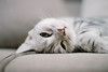(ChCh Chen) Tags: cats cat kitten kittens lifestyle life sony zm 50mm